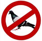 Pigeons suck